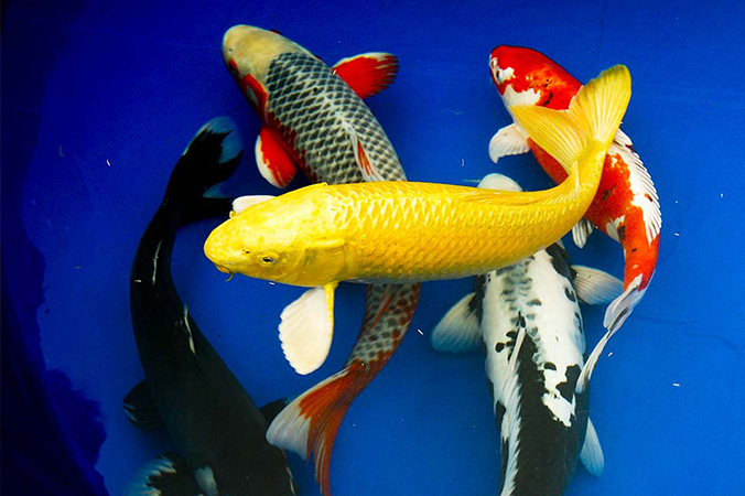 D acqua piscicultura for Alimento para carpas koi